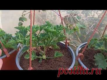 Заставляю Пеларгонию расти БОЛЬШИМИ ШАПКАМИ.