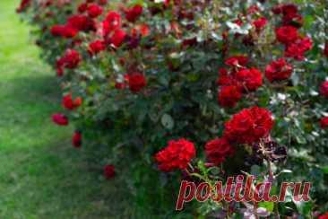 Живая изгородь из роз — принципы создания и особенности ухода. Выбор сортов и партнеров. Фото — Ботаничка.ru