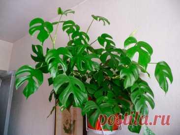 """Комнатное растение Рафидофора (Rhaphidophora). Своим внешним видом рафидофоры напоминают монстеру. Не случайно вместе с монстерами и филодендронами рафидофоры относятся к семейству Ароидные. Рафидофоры - лианы с мощными стеблями и листьями. Название рода в переводе с греческого означает """"несущая иглы"""" и намекает на игольчатые кристаллы в стеблях и листьях рафидофор. Основа успеха при культивировании в домашних условиях - высокая температура и влажность."""