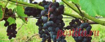 Вызревание виноградной лозы Невызревшая лоза, то есть неодревесневшая, имеющая, как правило, зелёный цвет, не переносит понижения температуры ниже нуля. Она погибнет от первого осеннего заморозка, который в северных районах выращивания винограда может прийти уже в сентябре. Поэтому помогать кустам винограда готовиться к зиме особенно важно в северных широтах.