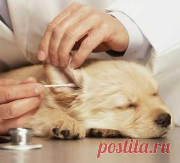 Как чистить уши собаке: правила, средства для ухода, советы ветеринаров Чем можно чистить уши собаке в домашних условиях: перекись, хлоргексидин, специальные средства. Фото и видео с процедурой. Как приучить собаку к чистке ушей.