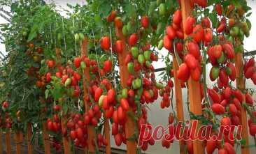 Высадка томатов в теплицу. В заправке лунки - секрет урожая томатов | Ленивый огород | Яндекс Дзен
