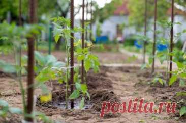 Чем нужно опрыскивать томаты в июне и июле, чтобы сберечь и повысить урожай | Томаты (Огород.ru)
