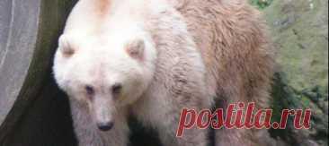 Лишаясь льдов, полярные медведи отступают на юг, а гризли тем временем забредают севернее своих обычных угодий – так и сталкиваются короли снегов и хозяева лесов. Результатом страстной встречи двух мишек могут стать гролары, или пиззли – и ученые считают, что вскоре их количество начнет расти.