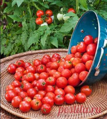 КАК ВЫРАСТИТЬ ПОМИДОРЫ К МАЮ БЕЗ ТЕПЛИЦЫ И БЕЗ РАССАДЫ. Осенью, перед самыми заморозками, когда плодоношение томатов останавливается, оторвите из понравившихся вам кустов (любых сортов) несколько отростков и поставьте в воду на 5-6 дней (ставить в воду сорванные отростки следует немедленно или с минимальным промежутком времени, иначе не...