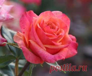 Роза Альбрехт Дюрер .  Роза Albrecht Dürer, названная в честь легендарного художника, имеет привлекательное розовое цветение, с крупными персиковыми и оранжевыми лепестками. Интенсивность оранжевого цвета этой розы меняется в зависимости от погоды. В зимний сезон эта роза выглядит скорее темно-розовой, чем оранжевой. Аромат розы Альбрехта Дюрера так же знаменит, как и ее красота. У нее интенсивный фруктовый аромат.