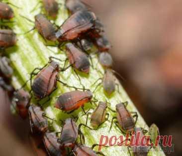 Как бороться с тлей – эффективные народные средства Тля поселяется на любых растениях – от комнатных цветов до взрослых деревьев. За сезон колония насекомых может нанести серьезный ущерб как самим растениям, так и будущему урожаю. Поэтому против вредит...