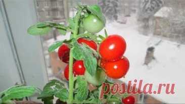 17 самых простых овощей и ягод, которые способны вырасти на балконе   Sadvokrug   Яндекс Дзен
