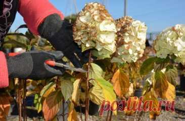 УХОД ЗА МЕТЕЛЬЧАТОЙ ГОРТЕНЗИЕЙ ОСЕНЬЮ : Осенью куст метельчатой гортензии все меньше напоминает о недавнем пышном цветении. Листья и соцветия усыхают, ветки одревесневают. Пора обрезать и подкормить растение, а также решить, делать ли укрытие на зиму для гортензии метельчатой. Начинать подготовку метельчатой гортензии к зиме нужно  уже летом: укрепляют иммунитет растения с помощью подкормок фосфором и калием, защищают от вредителей, а ближе к осени постепенно сокращают пол...