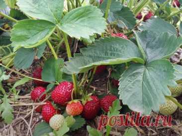 Всего одна подкормка клубники весной - секрет большого урожая. Рецепт подкормки | Ленивый огород | Яндекс Дзен