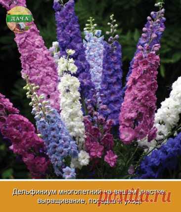Дельфиниум – цветочная культура, требующая к себе чуть большего внимания по сравнению с другими многолетниками. При этом выращивание дельфиниума многолетнего из семян не составит труда, если придерживаться основных агротехнических приемов. Зная правила посадки и ухода, можно выращивать дельфиниум многолетний из семян даже в условиях Подмосковья. Его шикарные цветоносы высотой с человеческий рост станут потрясающим украшением сада, будут радовать и восхищать вас и ваших гостей.