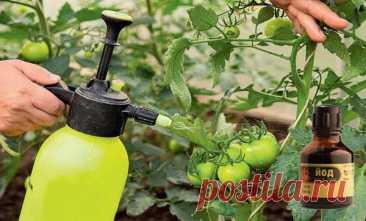 Как правильно подкормить помидоры йодом и защитить от заболеваний