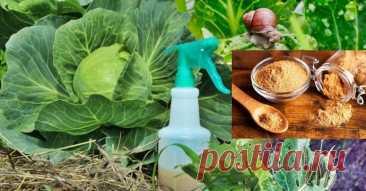Mustard powder in a kitchen garden