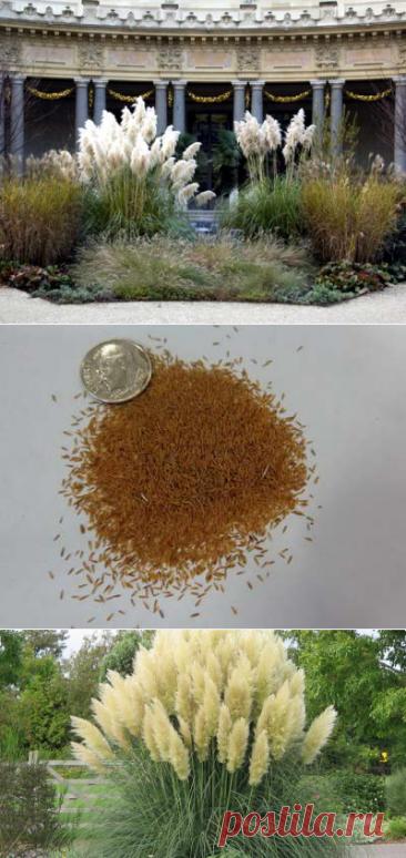 Кортадерия как вырастить из семян Кортадерия посадка и уход в открытом грунте Фото сортов