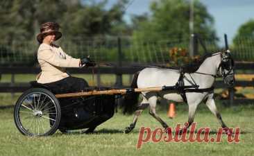 Фалабелла – самая маленькая лошадь в мире: интересные факты о мини лошадке