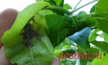 Как быстро избавиться от тли и муравьев на плодовых деревьях без химии и переплат - Наша дача - медиаплатформа МирТесен