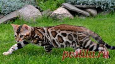 Гипоаллергенные кошки: полный список пород для аллергиков и астматиков, неаллергенные коты, фото и стоимость