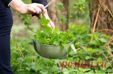 Как крапива помогает разбогатеть и похудеть: рассказываем всё об интересных и полезных свойствах растения TEA.ru