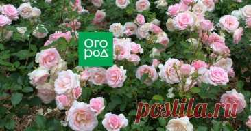 Как выращивать розы в тени и полутени Розы – светолюбивые растения, и потому вырастить их в тени сложнее, чем на хорошо освещенном участке. Но не все так безнадежно, как кажется на первый взгляд. При определенных условиях кусты роз приживутся и в том месте, куда не попадают прямые солнечные лучи.