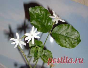 Ароматные комнатные растения - Домашние растения