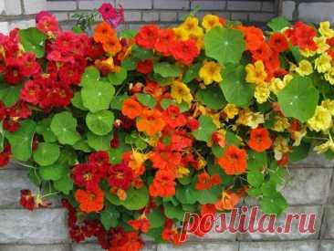 Вьющиеся растения для украшения дачных построек: топ однолетников