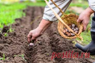Добавка в лунку при посадке озимого чеснока — рекомендации Selo.Guru — интернет портал о сельском хозяйстве