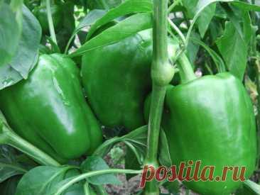 Обычные спички помогут быстрее созреть перцам и томатам на кусте — метод расщепа ствола   Собираем урожай   Яндекс Дзен