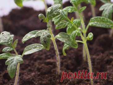 Выращивание томатов в открытом грунте для начинающих: грунтовые помидоры