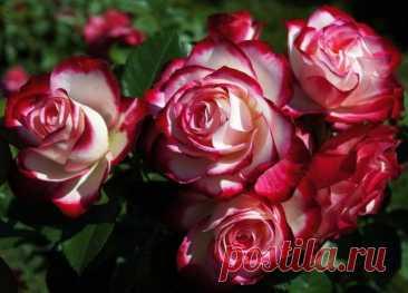 Розы флорибунда сорта фото описание Наряду с чайно-гибридными сортами, розы флорибунда на сегодняшний день являются самыми популярными. Они просты в уходе, обладают высокой морозостойкостью и устойчивостью к типичным болезням роз, к том...