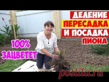 ДЕЛЕНИЕ, ПЕРЕСАДКА и ПОСАДКА ПИОНА осенью! Все правила и секреты  - 100% ЗАЦВЕТЁТ!