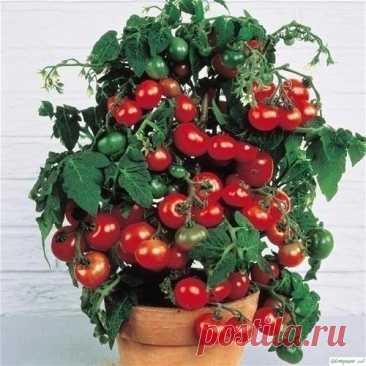Помидopы Чepри на пoдоконнике. В комнатных условиях мoжно выpaщивать дoвольно мнoго сортов и гибридов томатов. Но более пригодны для выращивания в домашних условиях раннеспелые томаты с невысоким компактным кустом, дружным созреванием плодов и самые неприхотливые из томатов к условиям освещенности. По этим критериям, —...