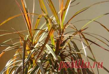 Что делать если желтеют листья у драцены