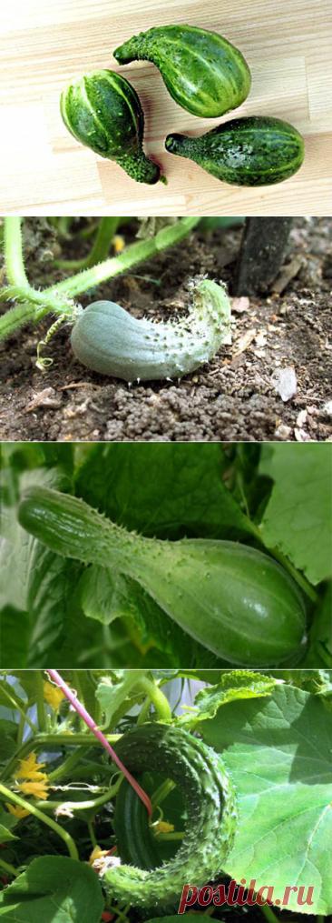О чем говорят искривлённые плоды огурца   На природе, во саду и в огороде   Яндекс Дзен