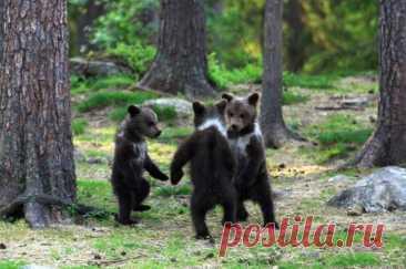 Танцующие медвежата