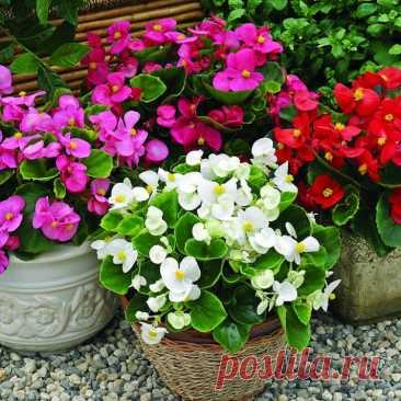Бегония вечноцветущая смесь, семена цветов, Legutko, Польша Растение высотой 25-30 см с очень желтыми, розовыми, красными, белыми цветками 8 см. Листья крупные, сердцевидные, слегка скошенные, блестящие, по краю мелкозубчатые.