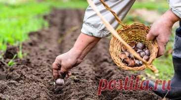 Правила посадки озимого чеснока для отличного урожая: разбираем по шагам на Supersadovnik.ru