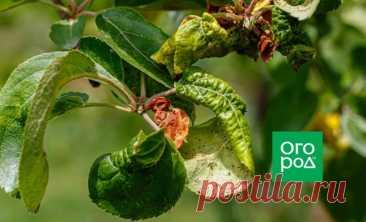 Тля на яблоне: как избавиться народными и профессиональными средствами | Дела огородные (Огород.ru)
