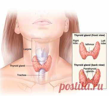 Признаки заболеваний щитовидной железы Щитовидная железа — наиболее крупная железа внутренней секреции, находится в шее под гортанью. Свое название получила благодаря близкому расположению к щитовидному хрящу. Работа щитовидки заключается в производстве гормонов, регулирующих важные процессы в организме человека.
