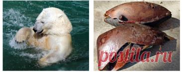 Белый медведь умер в зоопарке Екатеринбурга, проглотив брошенный в вольер мячик - Новости Mail.ru