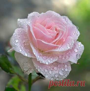 Женщины, как Розы... Чем быстрее полностью раскроется Роза, тем быстрее она завянет... Не спешите себя раскрывать... Цветите и дарите свой чудесный Аромат только тем Людям, которые, действительно, этого достойны... И будьте Счастливы..
