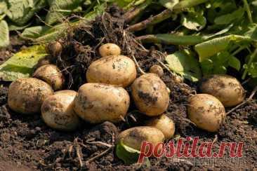 La tecnología holandesa de la cultivación de las patatas en la casa de campo