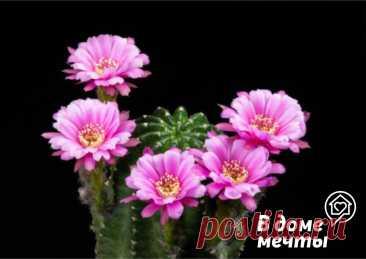 Кактусы и суккуленты с шикарным цветением: топ-7 видов | В доме мечты! | Яндекс Дзен