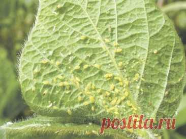 Ну, тля, держись! Никакой убойной химии - только натуральные компоненты.  Нынче некоторые садоводы и огородники применяют для защиты растений только ядохимикаты. Но результатов достигают не всегда, поскольку новое поколение паразитов уже адаптировано к ранее применявшемуся яду.  В то же время следует помнить, что ядохимикаты отравляют не только вредителей, но и полезных насекомых, а также накапливаются в почве, затем вместе с почвенной влагой и питательными веществами попа...