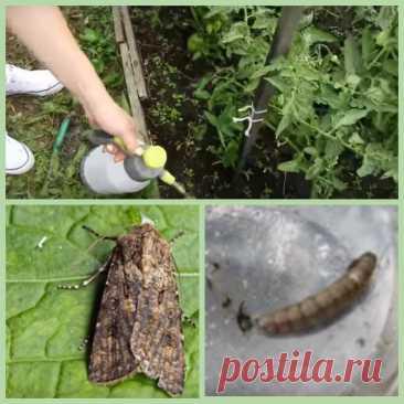 Дырявые помидоры - это насекомое совка нашкодила, делюсь секретами как отвадить | Домовитым на заметку | Яндекс Дзен