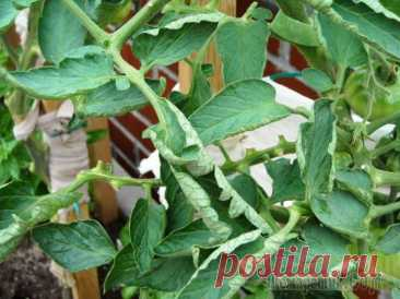 Leaves of tomatoes are twisted: what to do