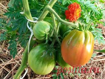 Сладкие помидоры. Как улучшить вкус томатов во время созревания | Мое любимое подворье | Яндекс Дзен