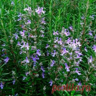 Лекарственное растение Розмарин аптечный (Rosmarinus officinalis). Густой сильно разветвленный вечнозеленый кустарник высотой 30-150 см с сильным ароматом. Листья сидячие, линейные,края подвернуты вниз, с верхней стороны блестящие, насыщенно-зеленые, с нижней стороны - покрытые белым войлоком, длиной 1-3,5 см. Бледно-голубые до светло-лиловых цветки с двугубым венчиком; тычинки и столбик далеко выдаются вперед; венчик длиннее чашечки. Изменчивый вид.