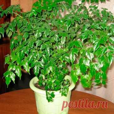 Комнатное растение Радермахера (Radermachera). Радермахера - красивое растение до 1 м высотой с темно-зелеными листьями, которые и являются основной причиной ее культивирования в комнатных условиях. Ширина кроны радермахеры может достигать 50 см. Растение завезено в Европу с Тайваня в конце XX в. Хорошо себя чувствует в помещениях с сухим воздухом. В комнате цветет крайне редко - крупными желтыми цветками. С весны до осени рекомендуется 1 раз в 2 недели вносить комплексное удобрение.