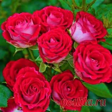 Беспроблемные розы, которые не подведут: цветут беспрерывно с начала лета до морозов, здоровье, зимостойкость на 5   GardenLife   Яндекс Дзен