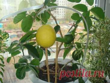 Как вырастить лимон в домашних условиях Лимон - очень ароматный и полезный фрукт. Выращенные в домашних условиях лимончики не сравнятся с покупными ни по вкусовым, ни по ароматным свойствам. Его применение безгранично: выпечка, чаи, салаты, варенье и многое другое. Лимон также широко используется в народной медицине, потому как в нем большое количество витаминов. А само дерево очищает воздух. Очень радует глаз, когда за окном снег, а на подоконнике среди зеленной листвы по...